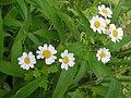 Flowers along the roadside (2) - geograph.org.uk - 1394731.jpg