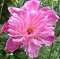 Flowers in my backyard 2.jpg