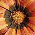 Flowers within flowers (3137837013).jpg