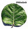 Foliorum forma - Orbicularis.jpg