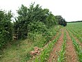 Footpath and maize, East Nynehead - geograph.org.uk - 1384872.jpg