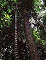 Forest Vine (7911917182).jpg