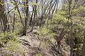 Forest in Mt.Myo 04.jpg