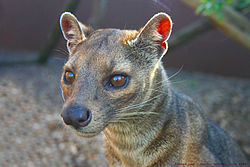 Fossa - Rare Species Centre, Kent.jpg