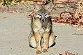 Fox (28861673484).jpg