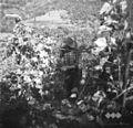 Franc iz Imenja trga grozdje 1953.jpg