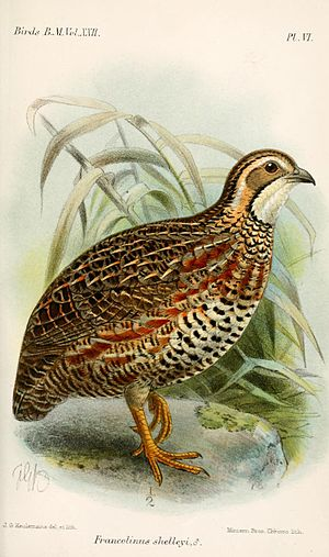 Shelley's francolin - Illustration by Keulemans, 1893