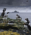 Fratercula arctica and Uria aalge -Scotland-8.jpg