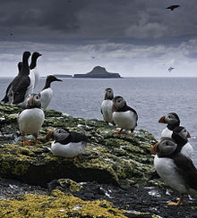 About a dozen seabirds – Atlantic Puffins and Guillemots – stand on a rocky, lichen-covered shore. Beyond lies a distinctively shaped island, resembling a wide-brimmed hat, under a dark cloudy sky.