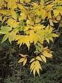 Fraxinus ornus 20091012.jpg