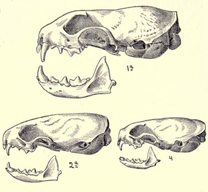 Long-tailed weasel - Skulls of a long-tailed weasel (top), a stoat (bottom left) and least weasel (bottom right), as illustrated in Merriam's Synopsis of the Weasels of North America