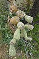 Fruit of the Chain Fruit Cholla, Late Winter, Opuntia fulgida, Sonoran Desert, 2013 - panoramio.jpg