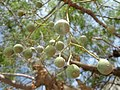 Fruits of Melia azedarach.jpg