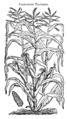 Frumentum turcicum 500 Dodoens 1583.png