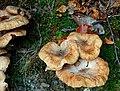 Fungus, Crawfordsburn Glen (28) - geograph.org.uk - 1502159.jpg