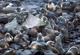 Bachelor herd - Fur seal rookery during the non-mating season at St. Paul Island, Alaska