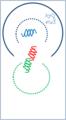 Génique adn 2.png