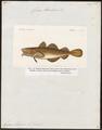Gadus morrhua - 1817-1841 - Print - Iconographia Zoologica - Special Collections University of Amsterdam - UBA01 IZ14000087.tif
