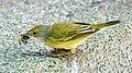 Galapagos Mangrove Warbler (33936504728).jpg
