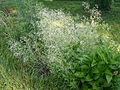 Galium aristatum flowering plant 001 4x3.jpg