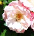 Garden Rose.png