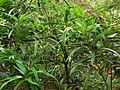 Garden croton (753036065).jpg
