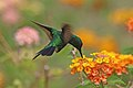 Garden emerald (Chlorostilbon assimilis) male in flight.jpg