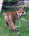 Garden fox 3 (3411635819).jpg
