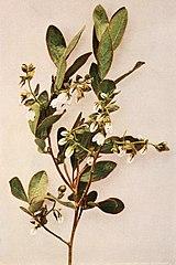 Gaylussacia bigeloviana WFNY-157B.jpg