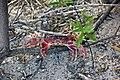 Gecarcinus lateralis (black-backed land crab) (San Salvador Island, Bahamas) 1 (15802838449).jpg
