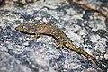Gehyra lacerata, Western four-clawed gecko - Cha-Am District, Phetchaburi (27675021470).jpg