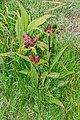 Gentiana purpurea at Lac de Roy (4).jpg