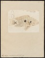 Geophagus surinamensis - 1774-1804 - Print - Iconographia Zoologica - Special Collections University of Amsterdam - UBA01 IZ14000075.tif
