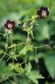 Geranium phaeum flowers.png