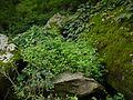 Geranium robertianum (7789104352).jpg