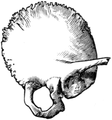 Gerrish's Text-book of Anatomy (1902) - Fig. 215.png