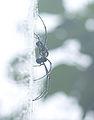 Giant wood spider.jpg