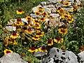Giardino botanico alpino Viote - Gaillardia aristata3.jpg