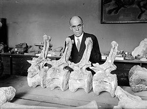 Charles W. Gilmore - Charles W. Gilmore in 1924 with caudal vertebrae of Diplodocus longus