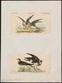 Glareola nordmanni - 1700-1880 - Print - Iconographia Zoologica - Special Collections University of Amsterdam - UBA01 IZ17200273.tif