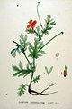 Glaucium corniculatum — Flora Batava — Volume v20.jpg
