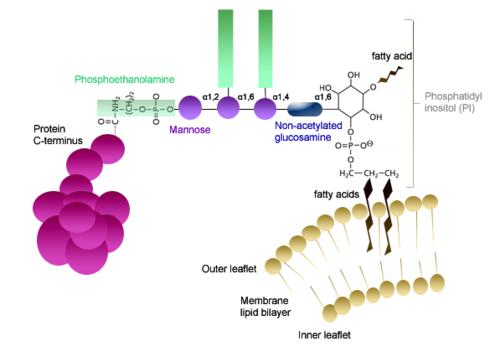 Lipid Anchored Protein Wikipedia