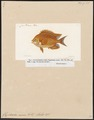 Glyphidodon aureus - 1817-1841 - Print - Iconographia Zoologica - Special Collections University of Amsterdam - UBA01 IZ13900302.tif