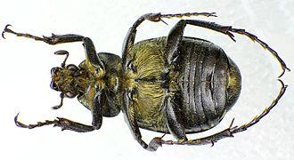 Gnorimus variabilis - Image: Gnorimus variabilis under male