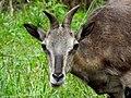Goat (166523425).jpeg