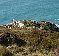 Goats on crags near Bray Head, Valencia Island - geograph.org.uk - 451737.jpg