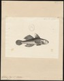 Gobius jozo - 1700-1880 - Print - Iconographia Zoologica - Special Collections University of Amsterdam - UBA01 IZ13600033.tif