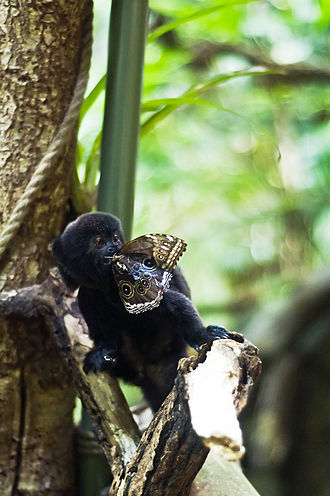 Goeldi's marmoset - Marmoset eating a butterfly