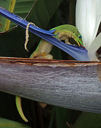 A gold dust day gecko licking nectar from a bird of paradise flower