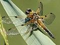 Goldene Libelle.jpg